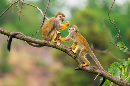 animales del bosque: Dos monos ardilla comunes (Saimiri sciureus) juegan en una rama de árbol