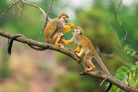 Twee gemeenschappelijke doodshoofdaapjes (Saimiri sciureus) spelen op een boomtak