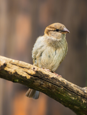 domesticus: Portrait of female house sparrow (Passer domesticus)