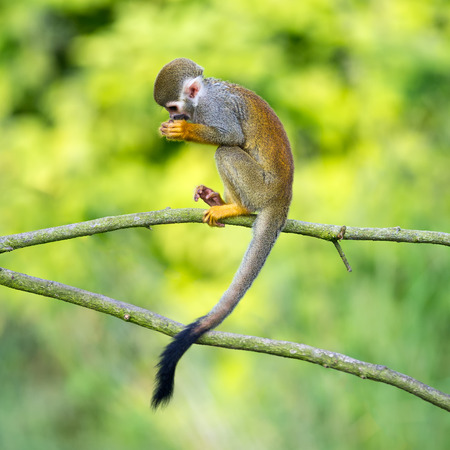 Portrait of common squirrel monkeys (Saimiri sciureus) sitting on a tree branch
