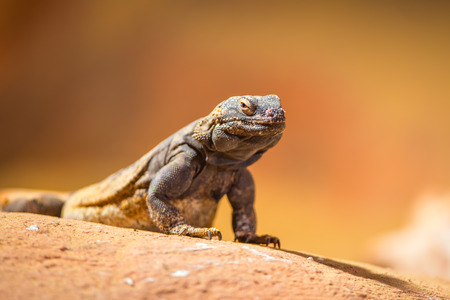 desert lizard: Portrait of eastern collared lizard (Crotaphytus collaris), also called common collared lizard or Oklahoma collared lizard Stock Photo