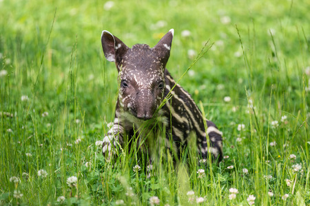 Nine days old baby of the endangered South American tapir (Tapirus terrestris), also called Brazilian tapir or lowland tapir Stock Photo