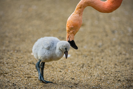pink flamingo: Baby bird of the American flamingo (Phoenicopterus ruber) with its mother. Stock Photo