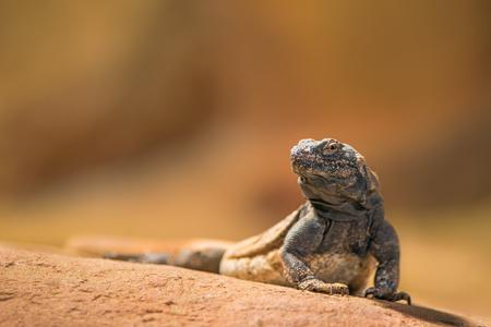 jaszczurka: Portret Wschodniej collared jaszczurki (Crotaphytus collaris), zwany także legwan obrożny lub Oklahoma collared jaszczurki