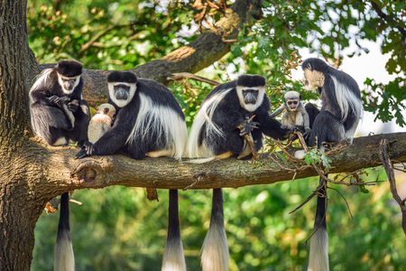 A troop of Mantled guereza monkeys (Colobus guereza) with two newborns