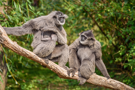 Family of silvery gibbons (Hylobates moloch) with a newborn. The silvery gibbon ranks among the most threatened species. Stock Photo
