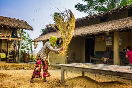 manually: CHITWAN, NEPAL - OCTOBER 24, 2015 : Nepalese woman threshing grain manually on a farm Editorial