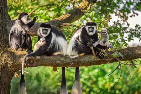A troop of Mantled guereza monkeys (Colobus guereza) plays with two newborns