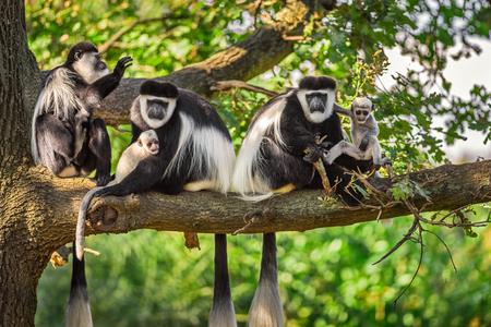 Un grupo de monos colobos guereza cubierto (guereza) juega con dos recién nacidos