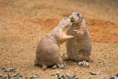 Two prairie dogs (genus cynomys) sharing their food Foto de archivo