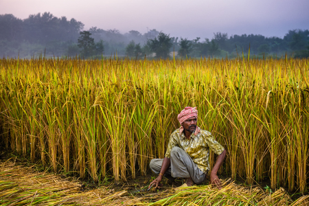 drudgery: CHITWAN, NEPAL - OCTOBER 24, 2015 : Nepalese man working in a rice field. In Nepal, the economy is dominated by agriculture.