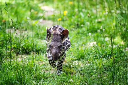 ブラジル バクまたは低地のバクとも呼ばれる絶滅危惧種の南アメリカ バク (Tapirus ハマビシ) の 9 日間古い赤ちゃん