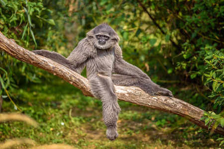 the silvery: Silvery gibbon (Hylobates moloch) sitting on a branch. The silvery gibbon ranks among the most threatened species. Stock Photo