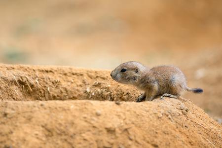genus: Baby prairie dog (genus cynomys)