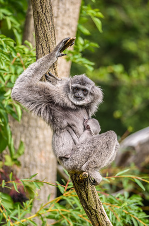silvery: Silvery gibbon (Hylobates moloch) with a newborn. The silvery gibbon ranks among the most threatened species.