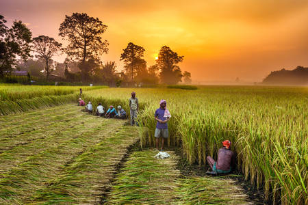 drudgery: CHITWAN, NEPAL - OCTOBER 24, 2015 : Nepalese people working in a rice field at sunrise. In Nepal, the economy is dominated by agriculture.