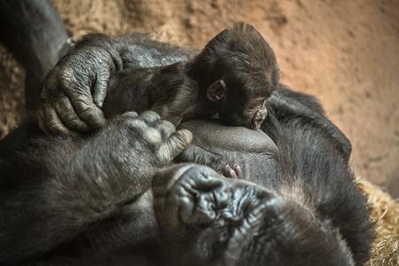lowland: 24-year-old Western lowland gorilla (Gorilla gorilla gorilla) breastfeeding its six-week-old baby. Stock Photo