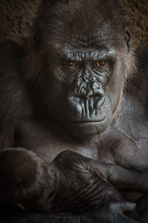 lowland: Angry-looking Western lowland gorilla (Gorilla gorilla gorilla) breastfeeding its baby. Stock Photo