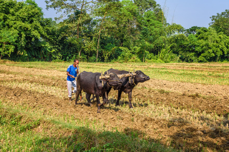 drudgery: CHITWAN, NEPAL - OCTOBER 24, 2015 : Nepalese farmer plowing agricultural field traditionally with a plow attached to a pair of bulls