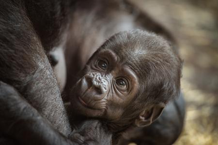 western lowland gorilla: Six-week-old baby of a  Western lowland gorilla