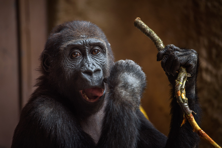 Young western lowland gorilla plays with a twig Stock Photo