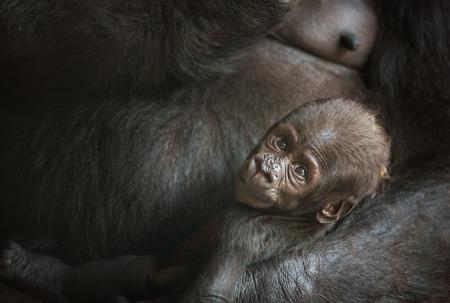 lowland: Six-week-old baby of a  Western lowland gorilla