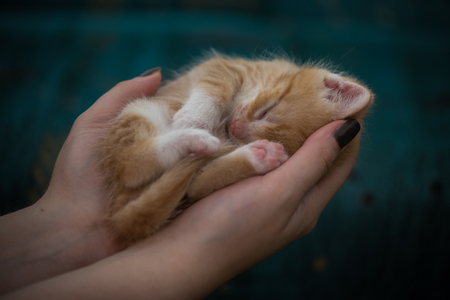 rests: Cute little kitten with eyes closed rests in human hands