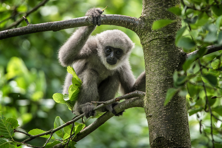 in the ranks: Young silvery gibbon (Hylobates moloch). The silvery gibbon ranks among the most threatened species. Stock Photo