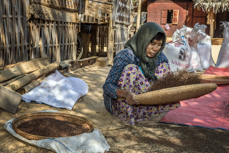 chaff: BAGAN, MYANMAR - JANUARY 24, 2016 :  Burmese farmer woman threshes corn to remove chaff