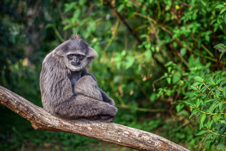 Silvery gibbon (Hylobates moloch) sitting on a branch. The silvery gibbon ranks among the most threatened species. Stock Photo
