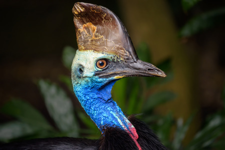 ratite: Portrait of Southern cassowary (Casuarius casuarius). Cassowary is a ratite and therefore related to ostrich, emu, Rhea and Kiwi. Stock Photo