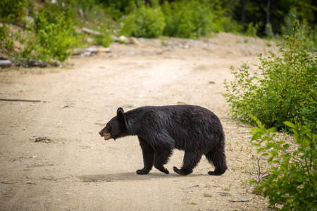 Wild Black Bear crossing a road in forests of Banff and Jasper National Park, Canada situated in canadian Rocky Mountains Stock Photo