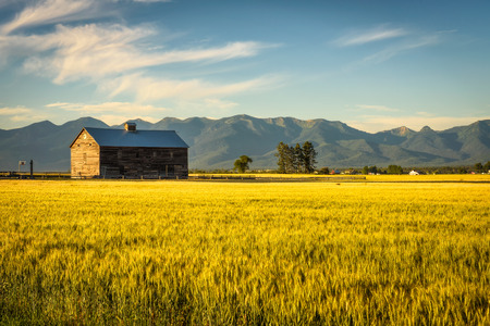 Summer sunset with an old barn and a rye field in rural Montana Foto de archivo