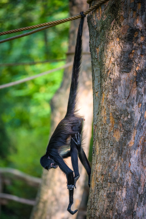 Geoffroys Spider Monkey hangin on a rope Stock Photo