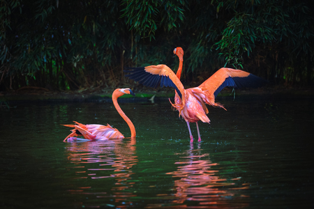 Two Caribbean Flamingos in a lake