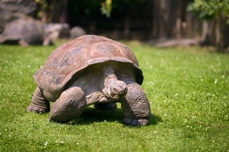 Close up portrait of an Aldabra Giant Tortoise Foto de archivo - 118384812