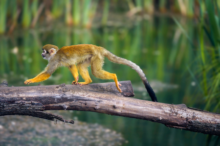 Common squirrel monkey walking on a tree branch above water