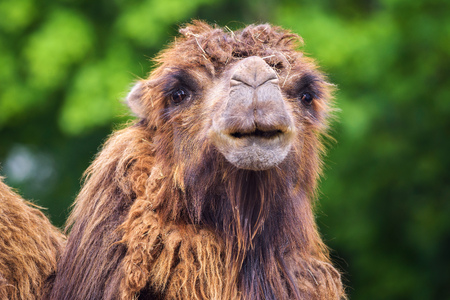 Portrait of a bactrian camel Standard-Bild - 127115219