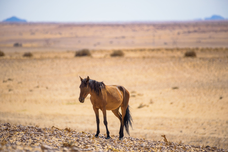 Wild horse of the Namib desert near Garub, south Namibia Stock Photo