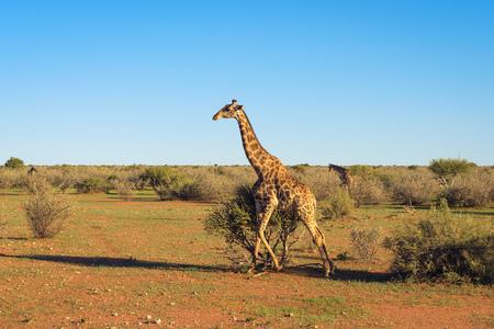 Giraffe walking through the Kalahari desert in Namibia Standard-Bild - 127115111