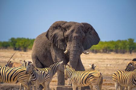 Angry elephant surrounded by zebras in Etosha National Park, Namibia Standard-Bild - 127115036