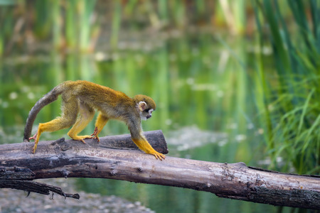 Common squirrel monkey walking on a tree branch above water Standard-Bild - 127115037
