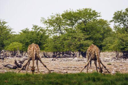 Two giraffes drink water from a waterhole in Etosha National Park