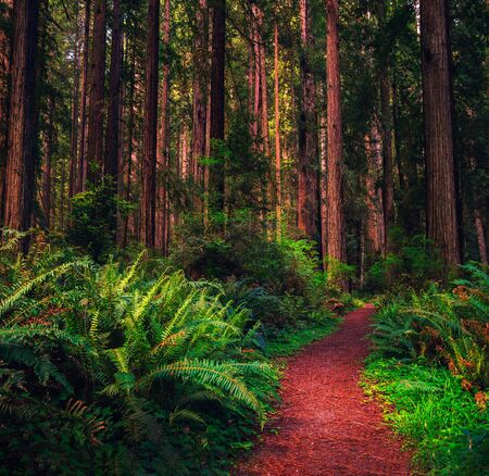 Hiking trail through a Redwood forest in northern California