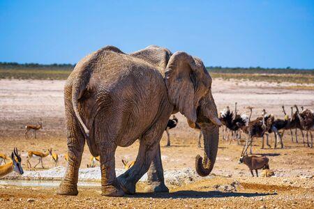 Elephant surrounded by wildlife in Etosha National Park, Namibia