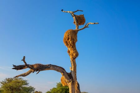 Thorn tree with weavers nests in Etosha National Park, Namibia 스톡 콘텐츠