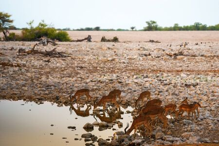Herd of antelopes drinking water in Etosha National Park, Namibia 스톡 콘텐츠