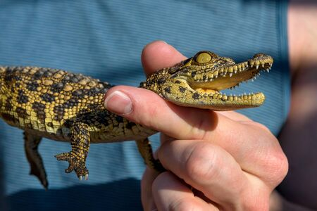Man holding a baby crocodile