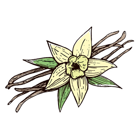 Vanilla pods and vanilla flower isolated, vector image of a flower and aromatic spices, Illustration of the hand draw Standard-Bild - 110199878