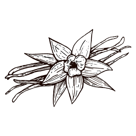 Vanilla pods and vanilla flower isolated, vector image of a flower and aromatic spices, Illustration of the hand draw Standard-Bild - 110199879